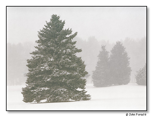 Evergreen trees in snow, Rhode Island Country Club, Barrington, Rhode Island.