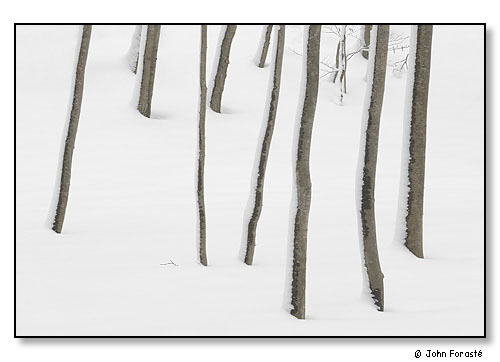 A stand of trees after snow.