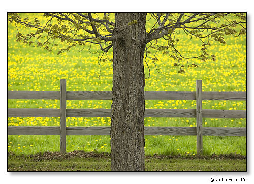 Tree, fence and field of dandelions in spring. Bethel, Vermont. May 2005.