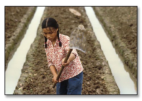 Girl cultivating rice field. Kwangchow, China. July 1979.
